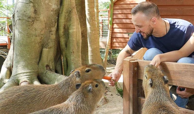 Capybaras Encounter Currumbin Wildlife Sanctuary